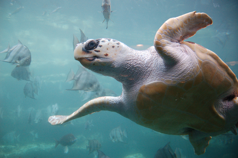 Loggerhead sea turtle (Caretta caretta).: Loggerheads are considered an endangered species and are protected by the International Union for the Conservation of Nature. Loggerhead sea turtles spend most of their lives in the open ocean and in shallow coastal waters. They rarely come ashore, with the exception of the females&#039; brief visits to construct nests and deposit eggs. Hatchling loggerhead turtles live in floating mats of Sargassum algae. Photograph by ukanda. Photograph and text courtesy of Wikimedia Commons.